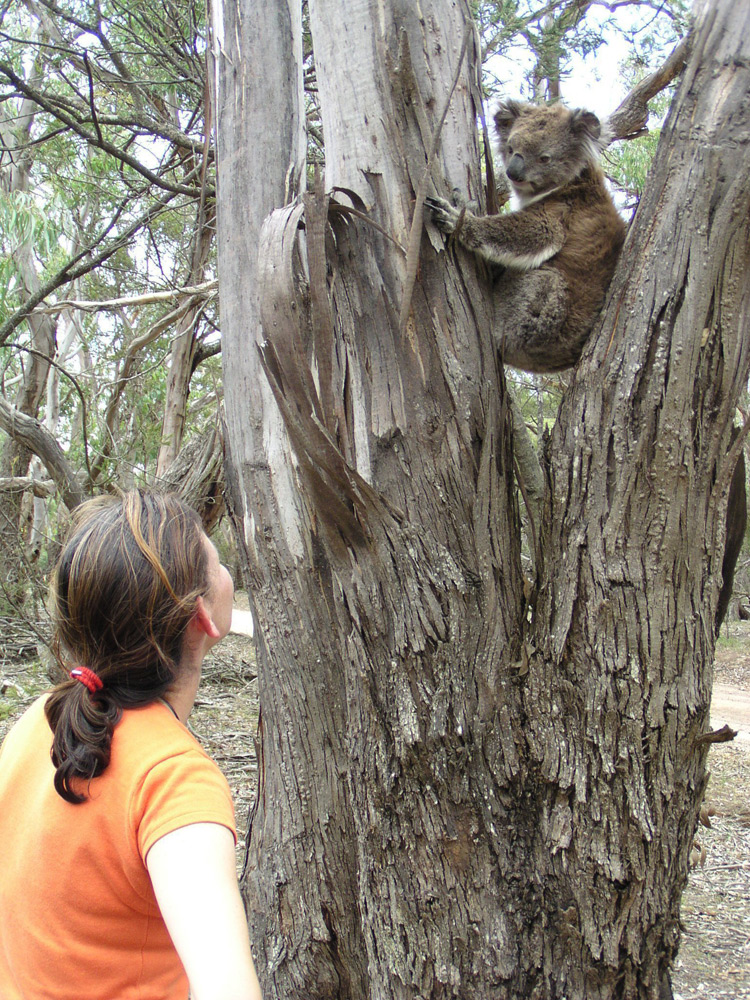 Wild female Koala, Wilma, in the Bush with Nature Guide Janine | Photo Credit: Echidna Walkabout