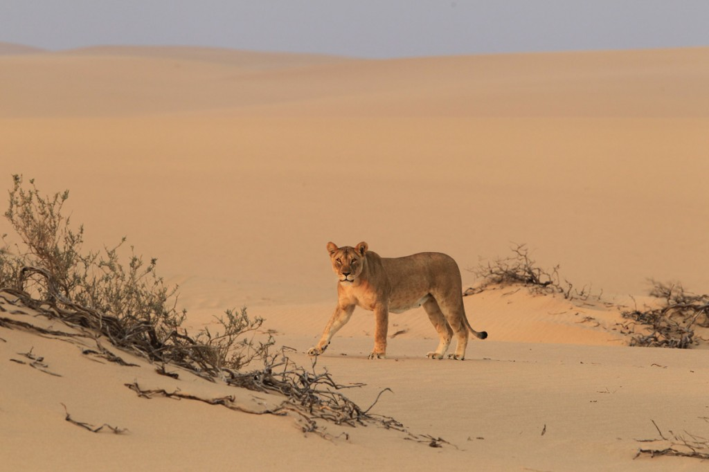 Lioness crossing the sand dune | Photo Credit: Wilderness Safaris