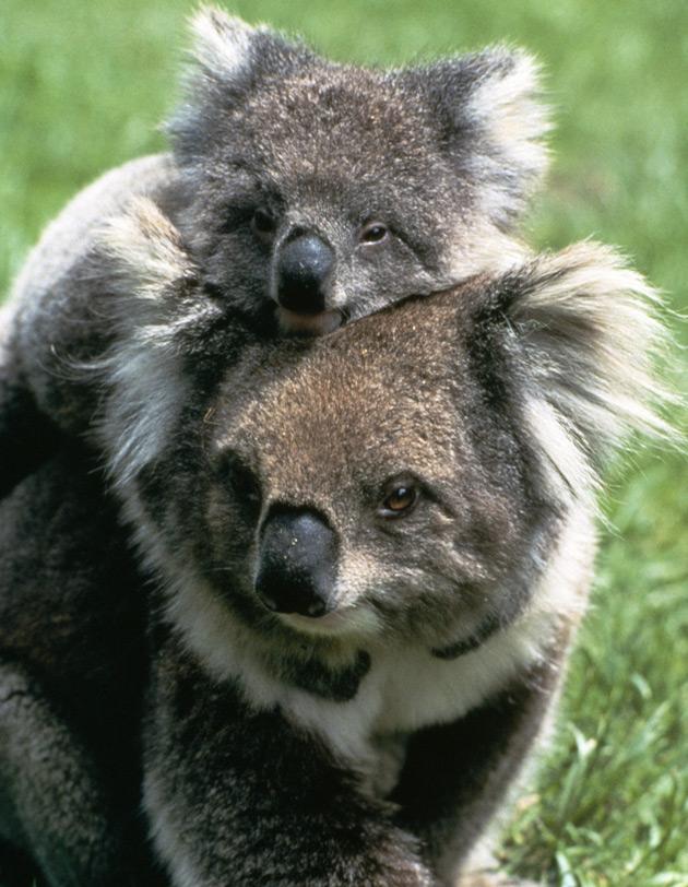 Mother koala & her baby   Photo Credit: Tourism Australia