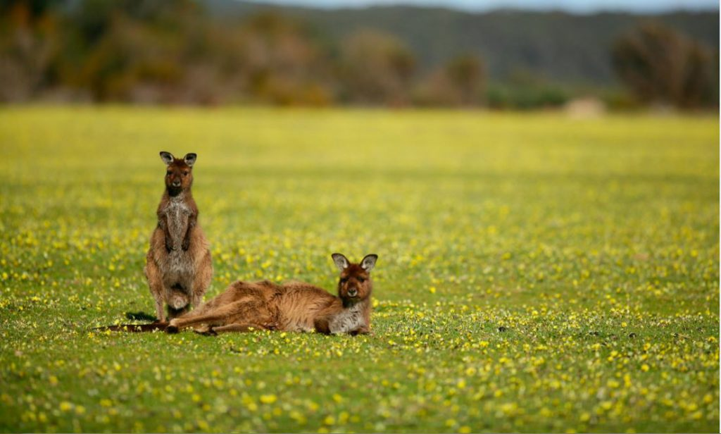 Kangaroos | Photo Credit: Exceptional Kangaroo Island