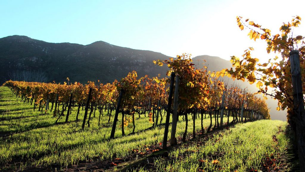 Vineyard | Photo Credit: Groot Constantia