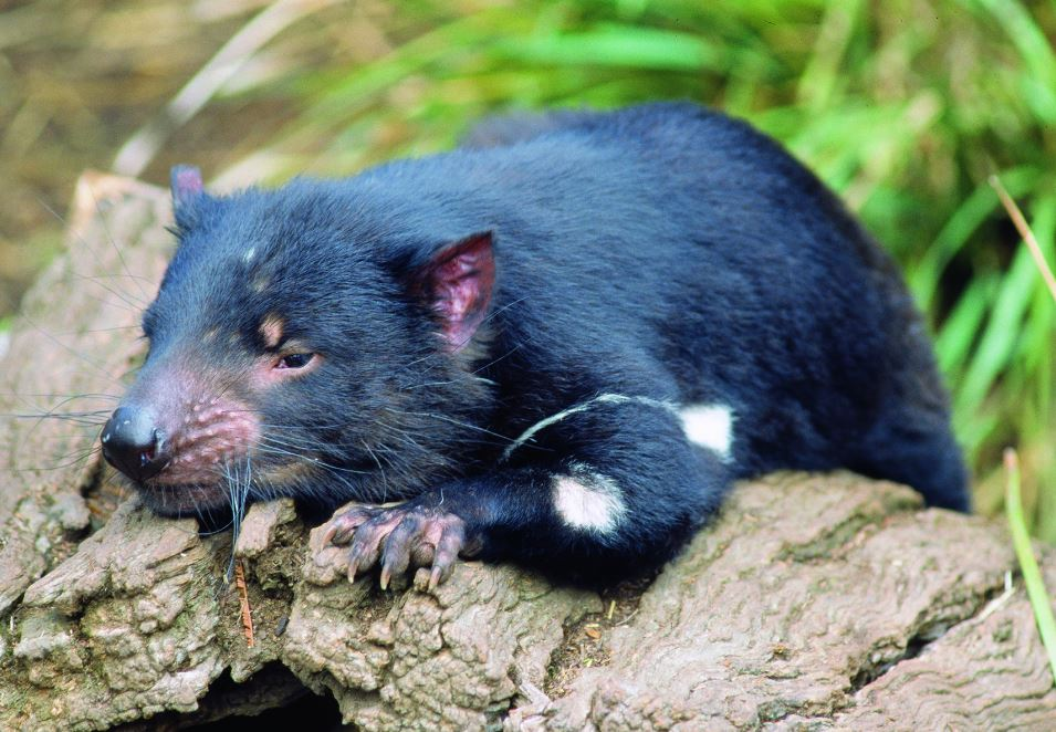 Tasmanian Devil | Photo Credit: Tourism Tasmania & John J Kamma