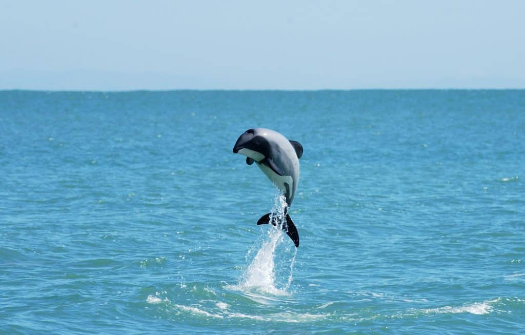 Dolphin Jumping | Photo Credit: Black Cat Cruises