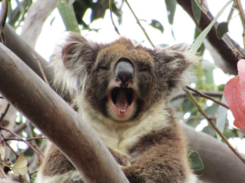 Koala in Tree | Photo Credit: Echidna Walkabout