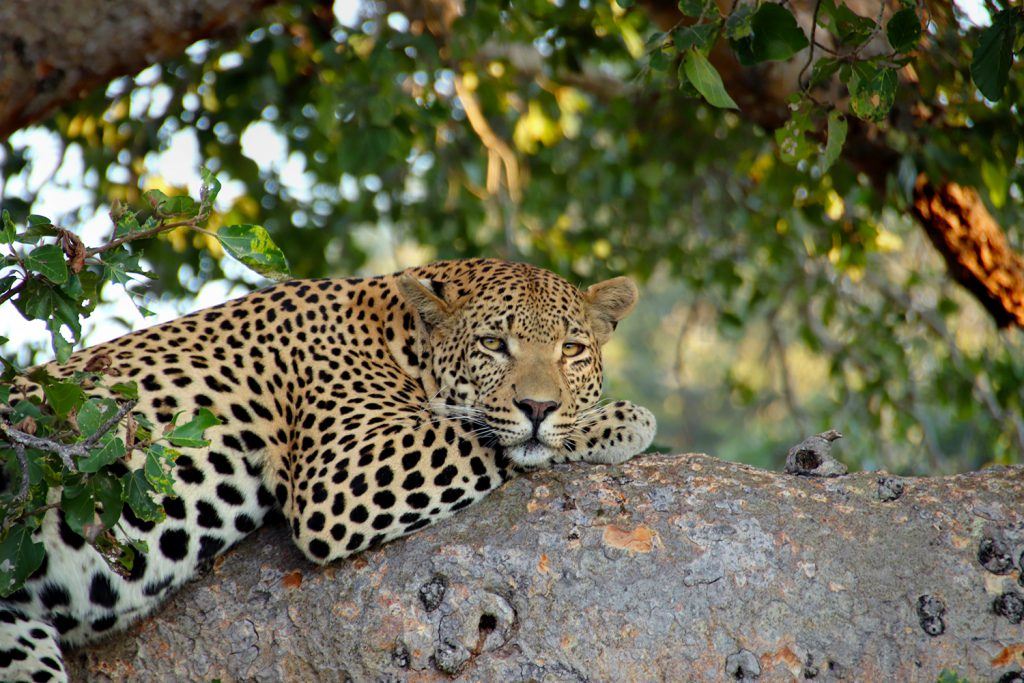 Leopard | Photo Credit: Smruti Smith