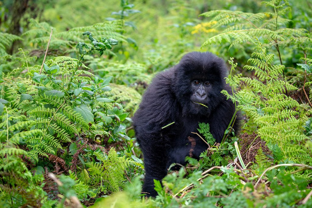 Mountain Gorilla | Photo Credit: Ian Swain II